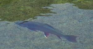 Fliegenfischen in Österreich, Saibling in der Großarler Ache