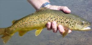 Fliegenfischen in Österreich, Bachforelle aus der Großarler Ache
