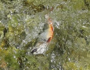 Saibling aus der Großarler Ache im Juni 2014. Fliegenfischen im Mäanderstück im Talschluß.