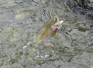 Fliegenfischen in der weißen Traun